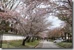 2016.04.08醍醐寺的櫻花。-16