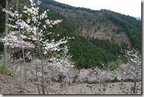2016.04.10今天唯一的行程-吉野山賞櫻。長在山壁上數以千計的的櫻花樹。-18