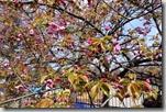 2016.04.11造幣局的櫻花。-45