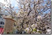 2016.04.11造幣局的櫻花。-50