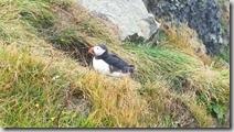 20170826_冰島國鳥1