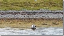 20170831_棲息岸邊的海豹。1