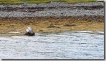 20170831_棲息岸邊的海豹。