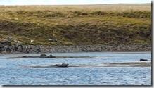 20170831_水上石頭的海豹