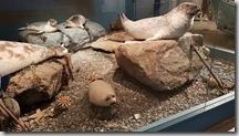 20170831_博物館內的海豹標本。3