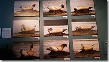 20170831_博物館內的海豹標本。2
