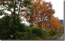 20170901_人行道旁的楓葉開始紅了。