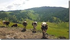 20180613_113132北疆隨處可見遍野的牛羊或是馬群。1