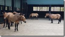 20180611_091847目前數量稀少受保護的普氏野馬。1