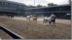 20180611_094805馬兒出來放風都是母馬保護著小馬,一對對的。