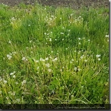 20180614_173657禾木村處處可見的小白花。