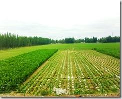 20180616_131450伊犁有塞外江南之稱,一路走來都是綠油油的田野。