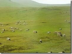 20180617_202331(0)往巴音布魯克途中,翻山越嶺,由車窗望出去隨時可見散落在山上吃草的黑頭羊。4