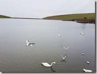 20180618_101403天鵝湖保護區,可能是下雨,天鵝稀稀落落,和想像不同。2