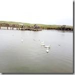 20180618_101303天鵝湖保護區,可能是下雨,天鵝稀稀落落,和想像不同。1
