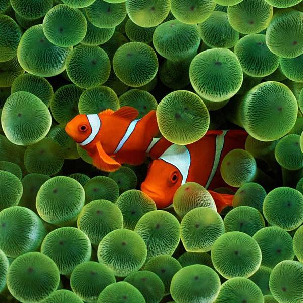 iPad-Wallpaper-Clownfish.jpg