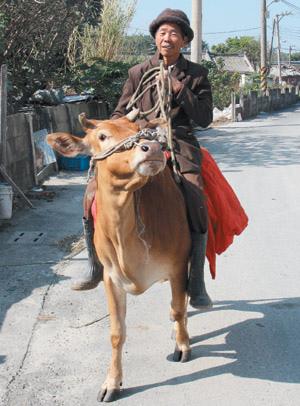 老農騎牛2