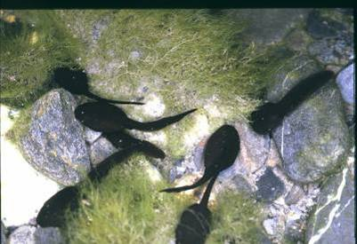 圖片引用自國內蛙類研究專家:花蓮市立教育大學-楊懿如副教授<台灣的蛙類與野外調查>