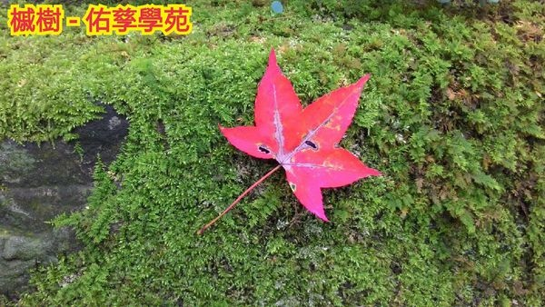 槭葉.jpg