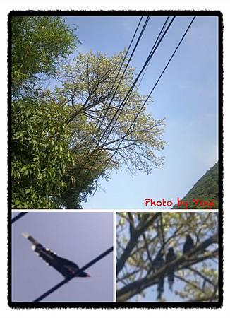 2012.04.11臺灣藍鵲