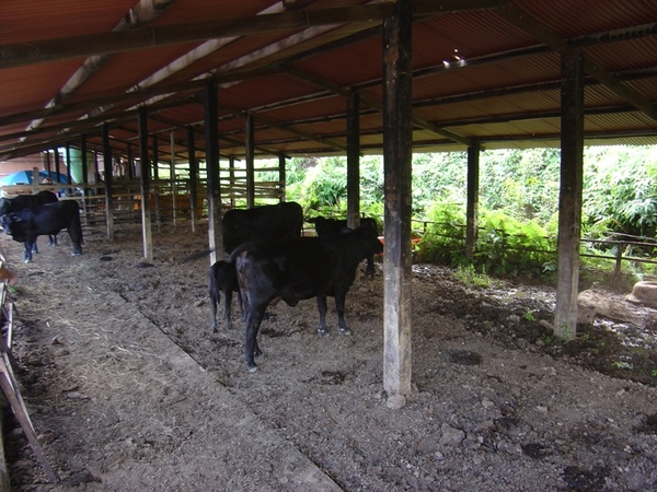黑牛ㄅㄟㄅㄟ