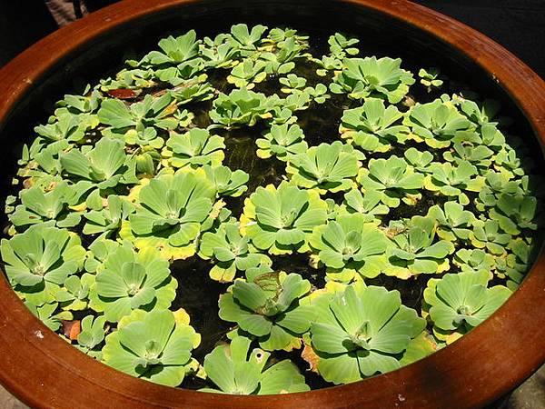 隨處可見的圓盆植物