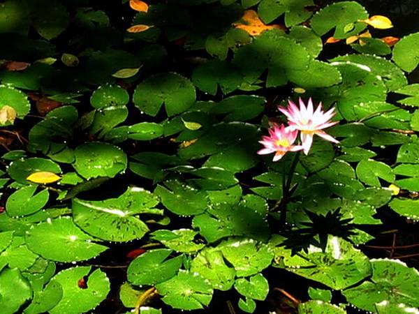 方鑑齋的池中蓮花