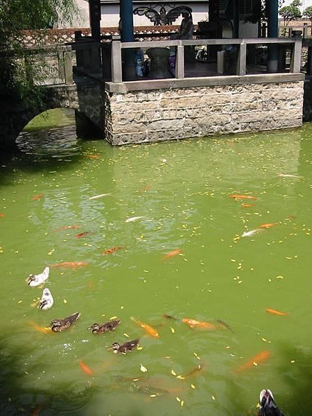 榕蔭大池的鯉魚