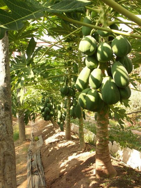 亞森農場-這木瓜也太畸形