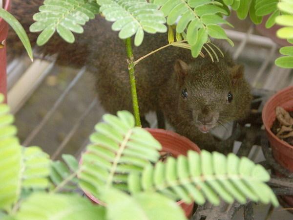 九芎湖-圈養的小松鼠