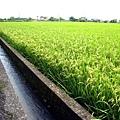 20070619端午稻