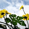 20070619絲瓜花