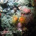管星珊瑚 ( 夜間綻放的太陽花 )