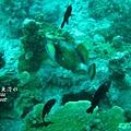 Titan triggerfish 綠擬鱗魨