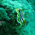 p_IMG_9415_16x9.jpg 海蛞蝓(Nudibranch)