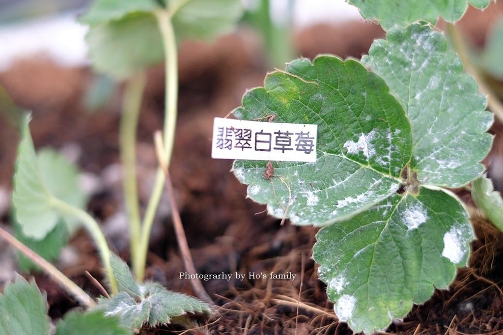【宜蘭採草莓景點】本事農莊9.JPG
