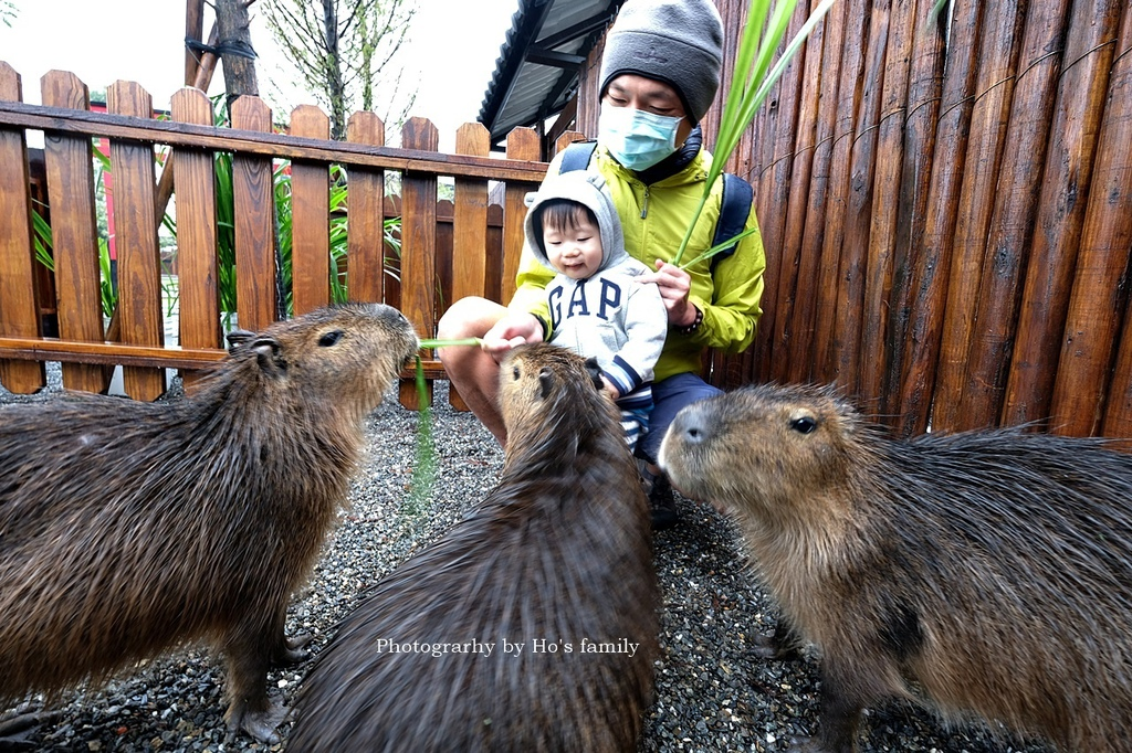 【宜蘭親子農場】張美阿嬤農場~餵梅花鹿、水豚、日式庭園穿和服,雨天景點備案16.JPG