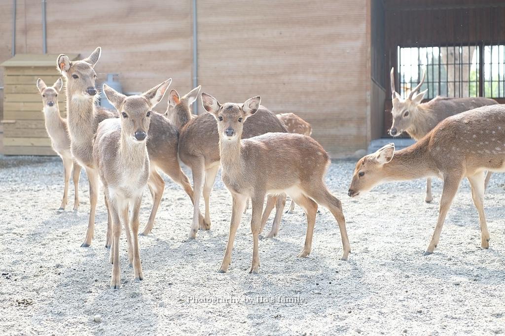 【雲林親子景點】古坑鹿營親子農場~滑草、餵小動物、落羽松林、親子餐廳25.JPG