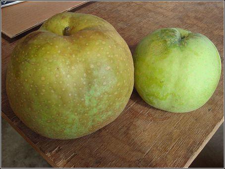 99年收成的梨子