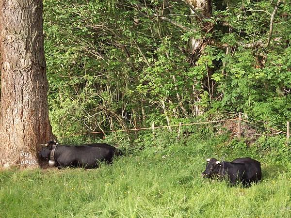 從格林德瓦坐車向外拍黑牛 593.jpg