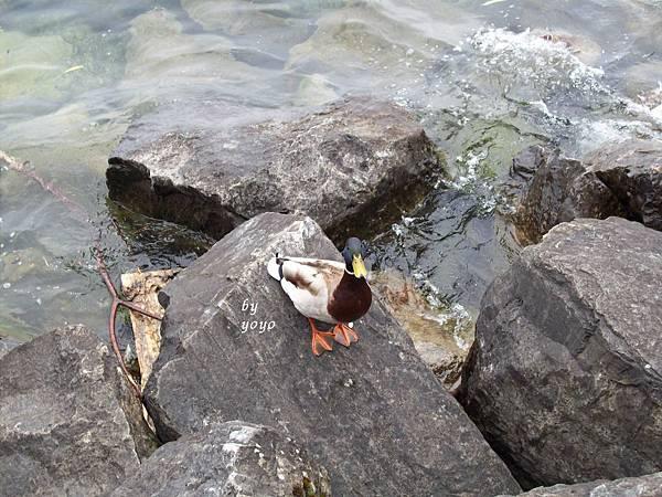 在岸上鴨子 636.jpg