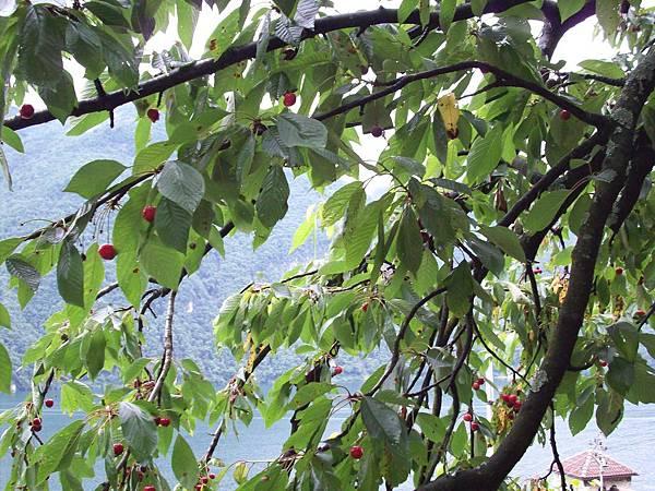 住家種的櫻桃 1020.jpg