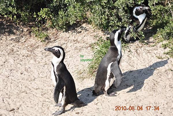 可愛南非黑腳企鵝DSC_0152-1.JPG