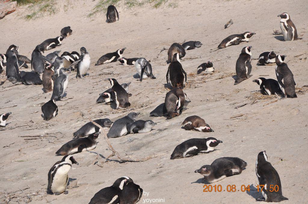 很壯觀企鵝場面DSC_0190-1.JPG