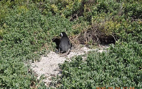 企鵝右邊的巢DSC_0197-1.JPG