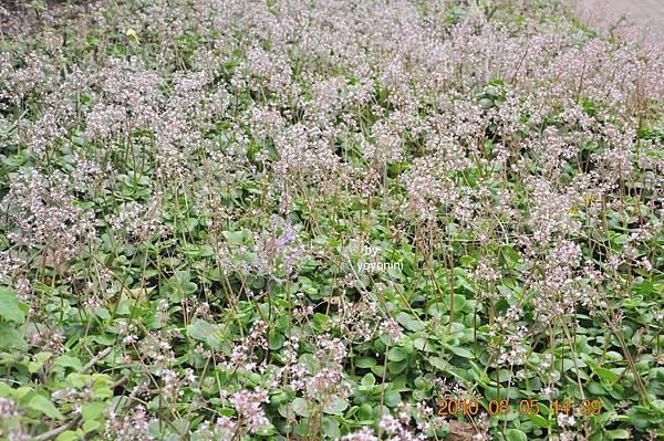 細小花朵DSC_0258-1.JPG