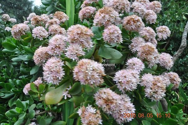 是花是植物不得而知DSC_0283-1.JPG