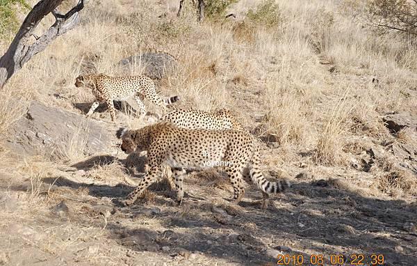 出現三隻獵豹DSC_0431.JPG