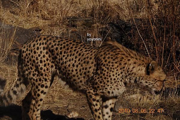 近拍獵豹紋身DSC_0447.JPG