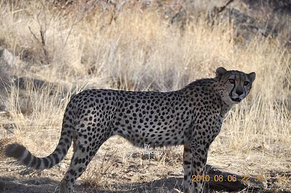 DSC_0471獵豹眼睛很大.JPG